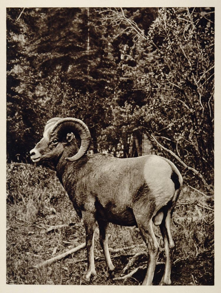 Rocky Mountain Bighorn Sheep Ram Canada Photogravure - ORIGINAL CANADA
