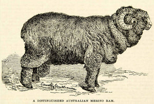 1893 Wood Engraving Australian Merino Ram Sheep Horns Wool Coat Breed CCG2 - Period Paper