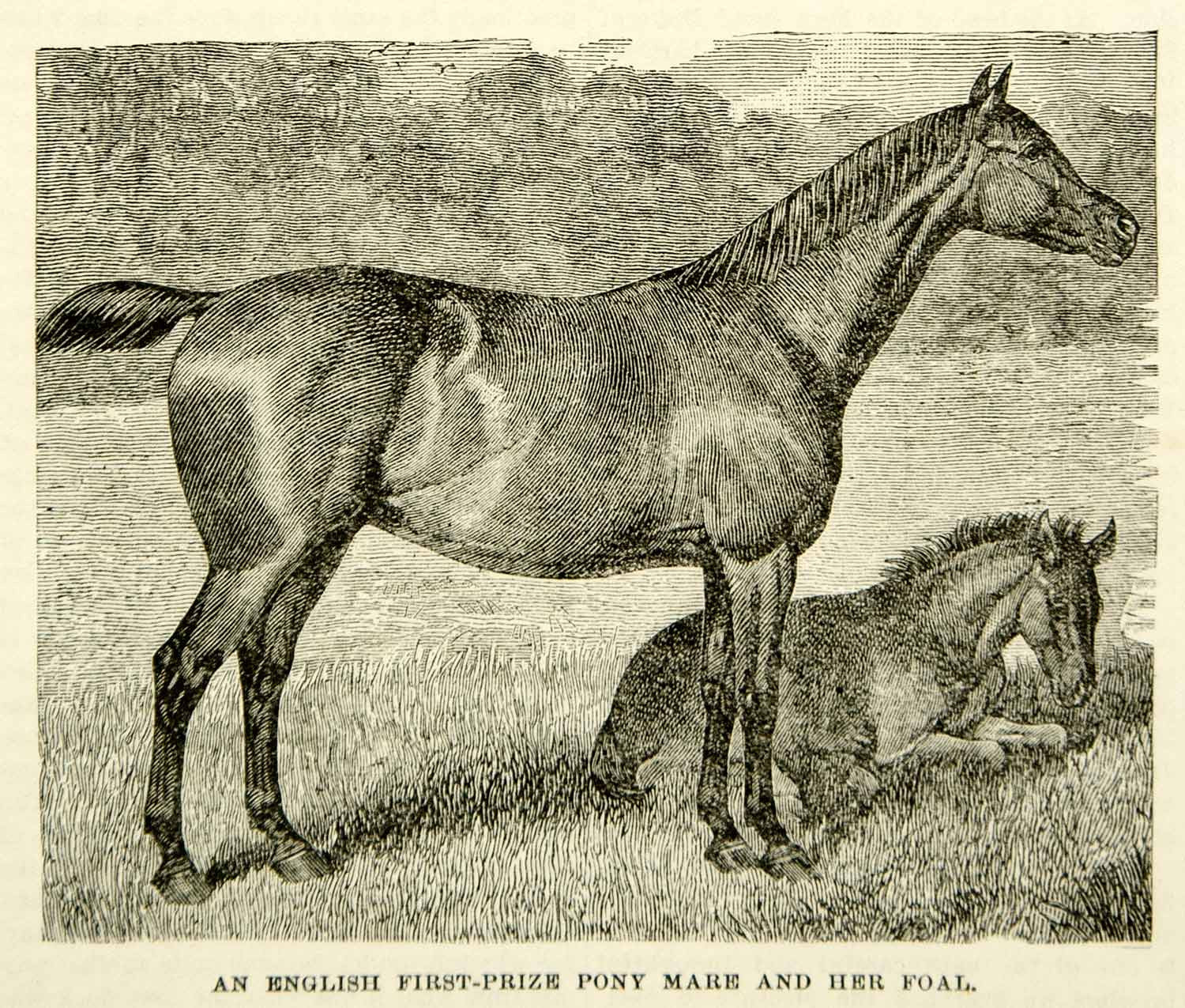 1893 Wood Engraving English Pony Mare Foal Equestrian Baby First Prize CCG2