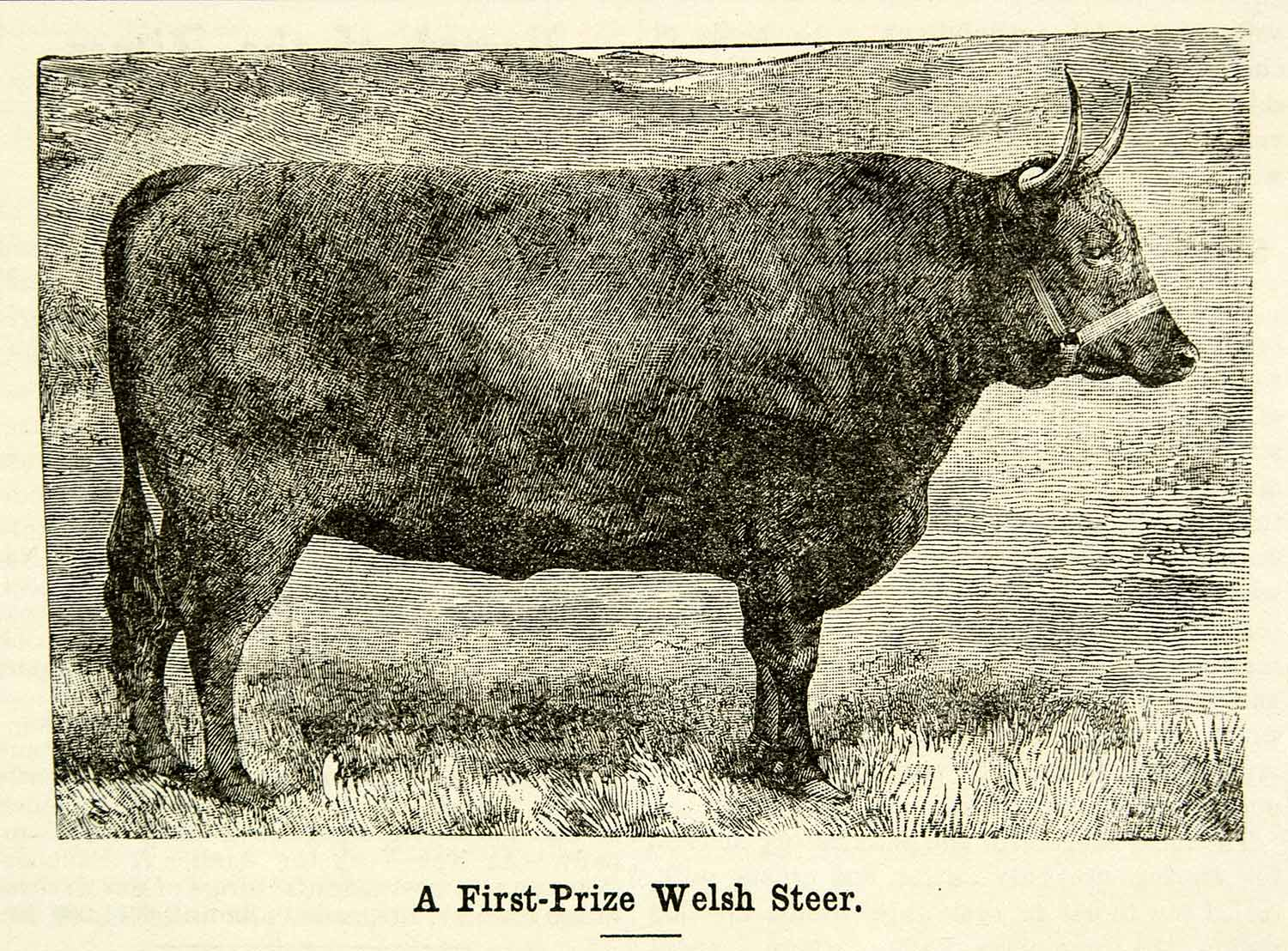 1893 Wood Engraving First Prize Welsh Steer Bull Livestock Castlemartin CCG2