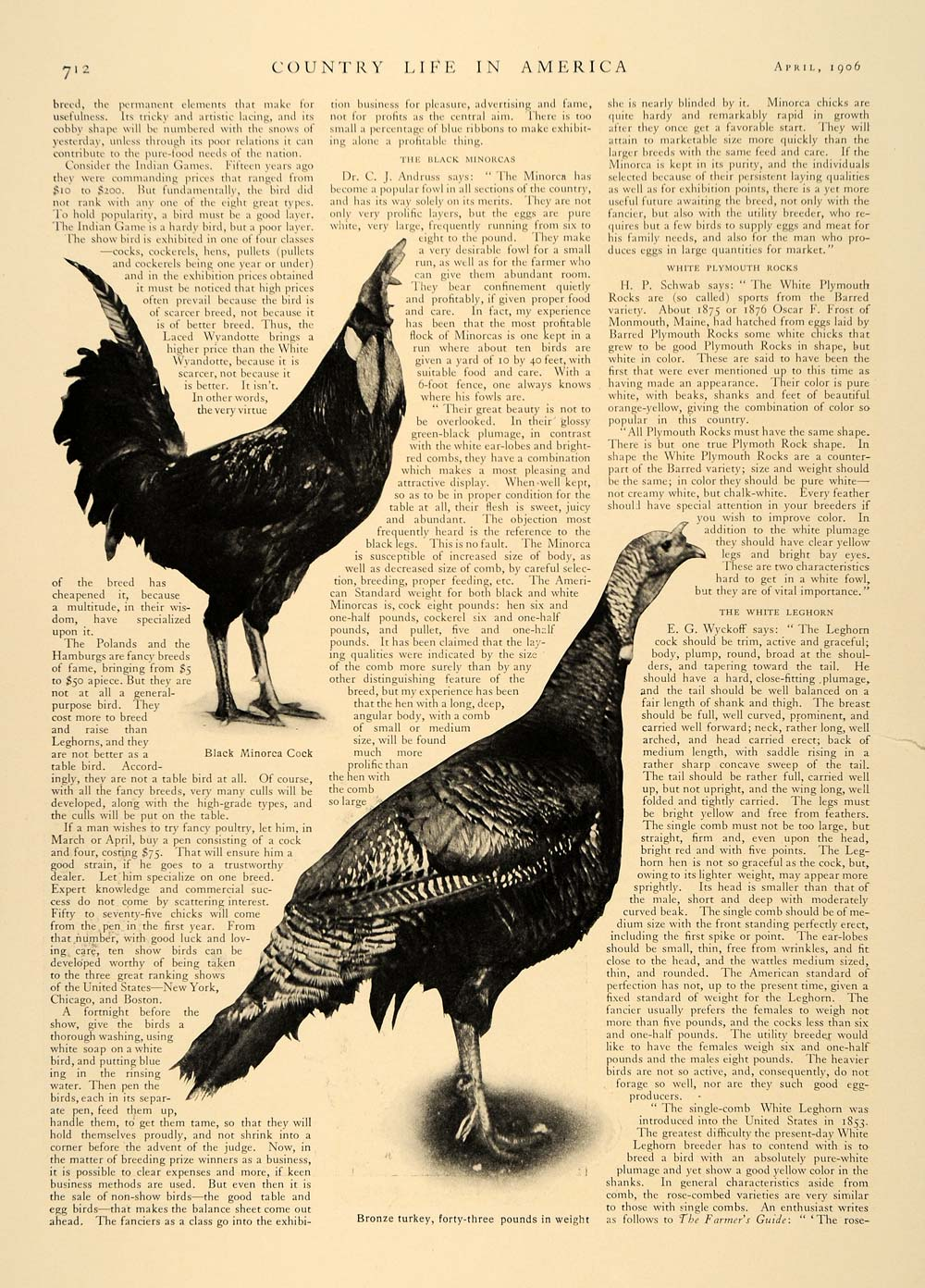 best place quality design fashion style 1906 Article Blue Ribbon Champion Poultry Agriculture Orpington Chickens  CLA1