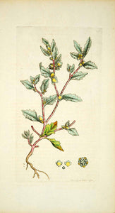 1794 Copper Engraving James Sowerby Atriplex Frosted Orache Botanical Flower EB3