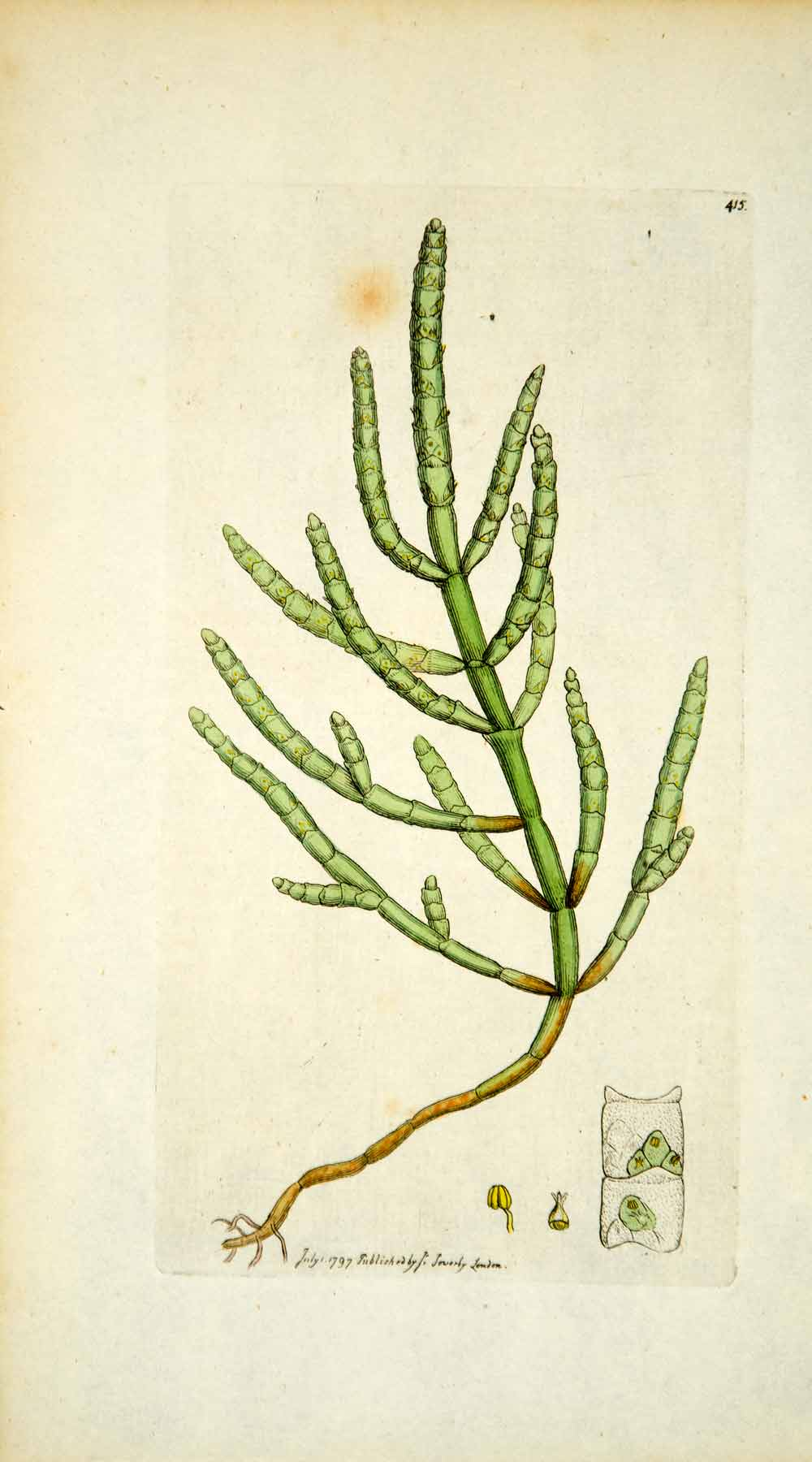 1797 Copper Engraving Hand-Painted Salicornia Jointed Glasswort Samphire Art EB6