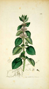 1798 Copper Engraving Hand-Painted Mentha Marsh Whorled Mint Botanical Art EB7