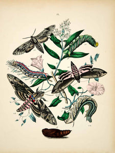 1882 Hand-Colored Lithograph WF Kirby Art Pine Privet Hawk Moth Insect Bugs EBM1