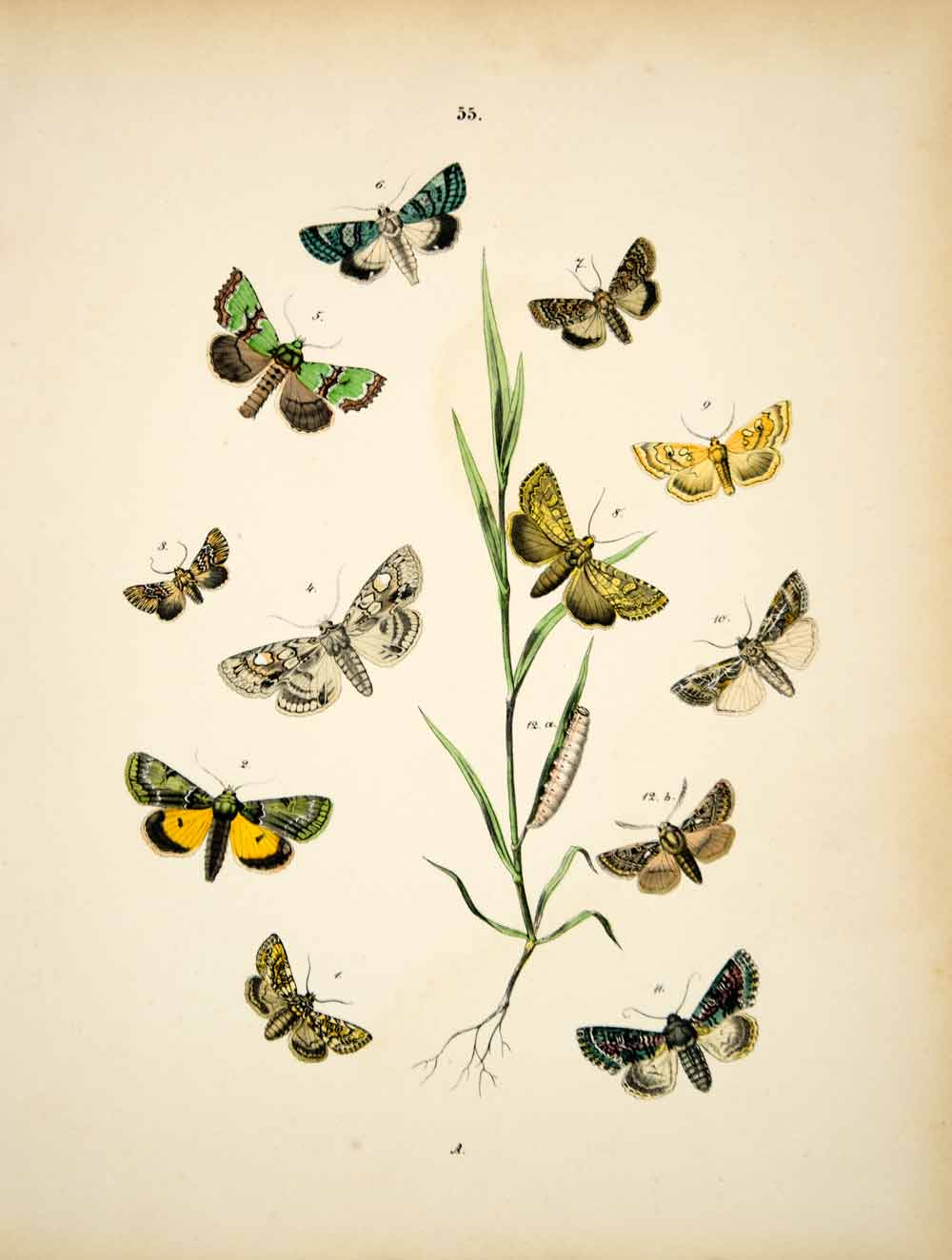 1882 Hand-Colored Lithograph WF Kirby Art Tawny Shears Moth Insect Bugs EBM1