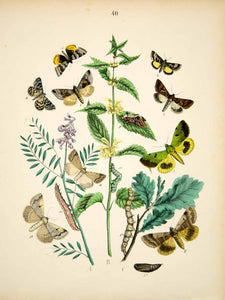 1882 Hand-Colored Lithograph WF Kirby Art Gold Spangle Moth Insect Bugs EBM1