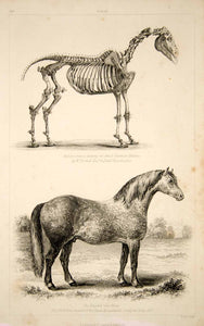 1852 Steel Engraving Antique Print English Cart Horse Skeleton Equestrian FD1
