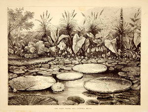 1887 Wood Engraving Art Botanical Amazonica Queen Victoria's Water Lily IDG1 - Period Paper