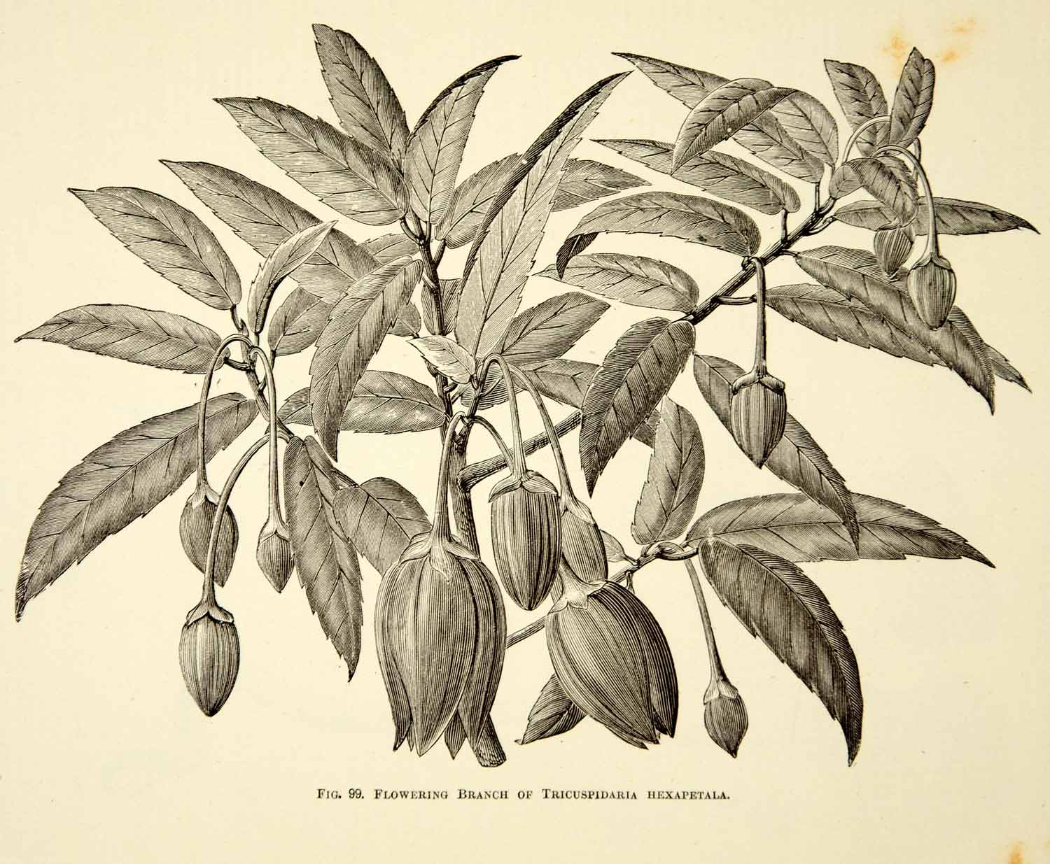1887 Wood Engraving Art Botanical Tricuspidaria Hexapetala Flower Plant IDG1