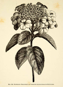 1887 Wood Engraving Art Botanical Viburnum Chinese Snowball Flower Plant IDG1