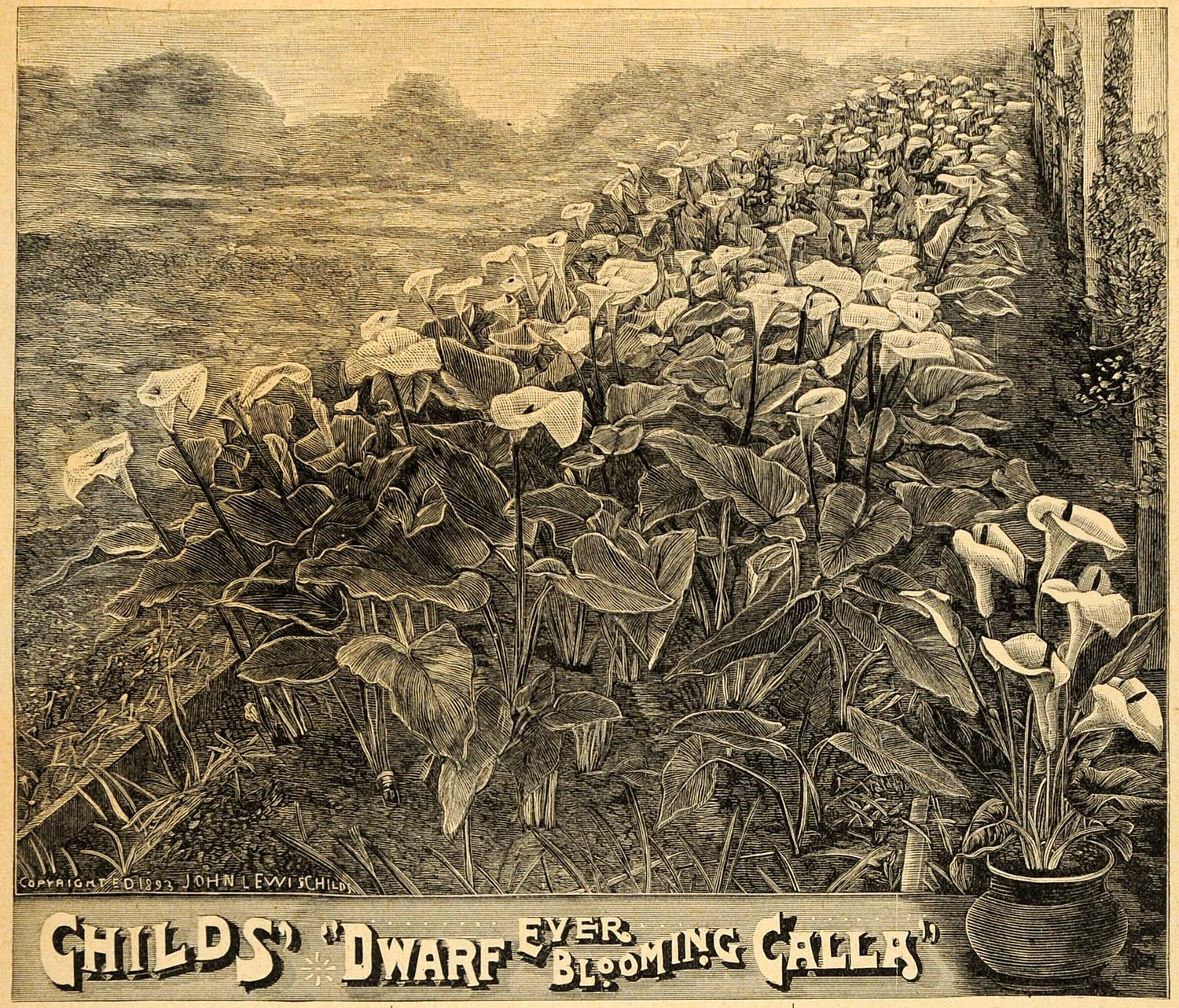 1893 Print Blooming Calla Flowers Bog Arum Art Marsh - ORIGINAL HISTORIC MAY1