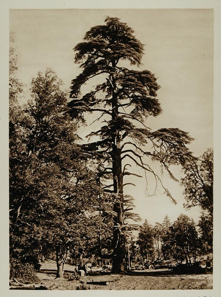 1924 Cedars Atlas Mountains Azrou Morocco Photogravure - ORIGINAL NAF1