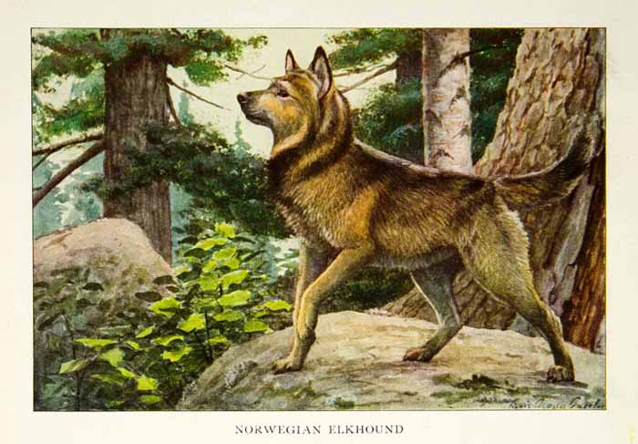 1919 Color Print Norwegian Elkhound Dog Breed Animal Louis Fuertes Art Pets NGM5