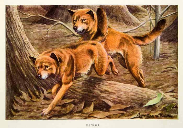1919 Color Print Dingo Wildlife Animal Wild Dog Louis Fuertes Art Predator NGM5