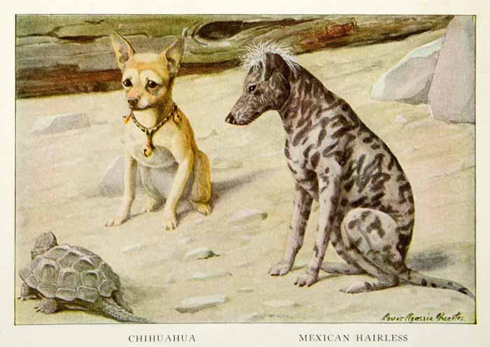 1919 Color Print Chihuahua Mexican Hairless Dog Breed Turtle Louis