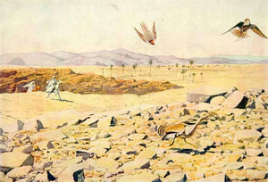 1920 Color Print Falcon Hunting North Africa Bustard Prey Louis Fuertes Art NGM5