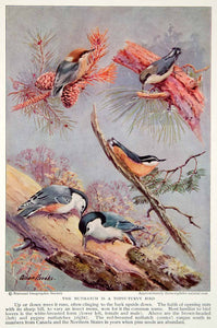 1934 Color Print Nuthatch Wildlife Animal Bird Breeds Species American NGMA6