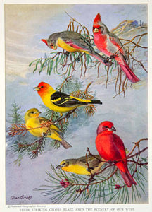 1935 Color Print Red Crested Waistcoated Arizona Pyrrhuloxia Bird Wildlife NGMA6