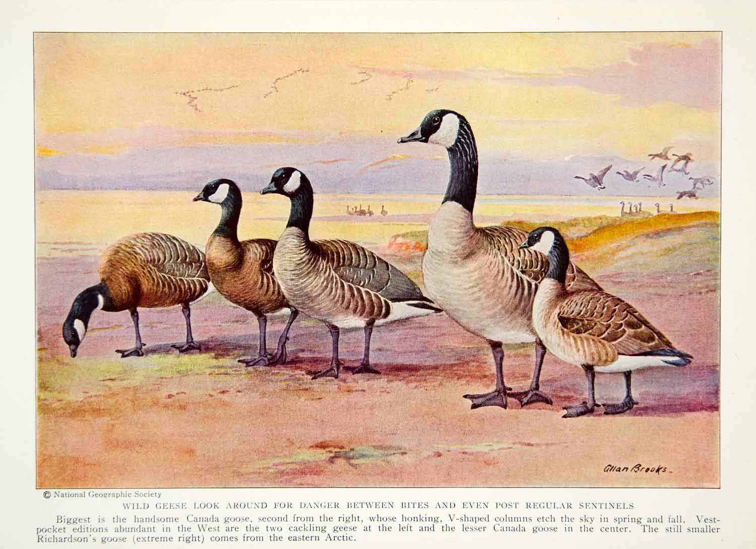 1934 Color Print Canada Richardson Geese Goose Birds Wildlife Animals NGMA6