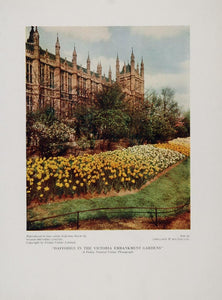 1935 Daffodils Victoria Embankment Gardens London Print - ORIGINAL