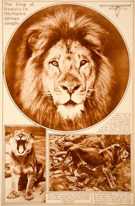 1923 Rotogravure African Lion King of the Jungle Wildlife Martin Osa Johnson