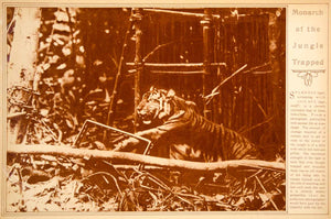 1923 Rotogravure Tiger Jungle Trap Large Cat Laos Endangered Wildlife Animal