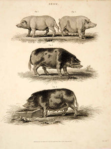 1807 Copper Engraving Berkshire Pig Breed Swine Farm Animal Livestock Art TCF2