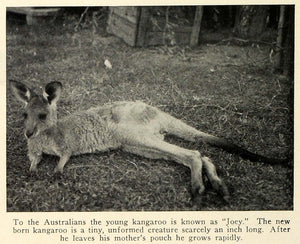 1929 Print Joey Baby Kangaroo Newborn Inch Long Mother Pouch Marsupial TRV1