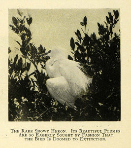 1909 Print Snow Heron Endangered Bird Tree Branch Perch ORIGINAL HISTORIC TW3