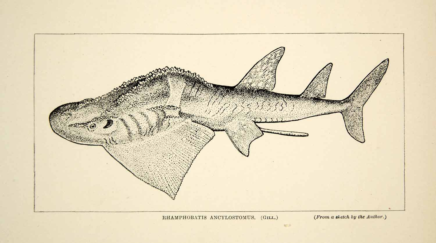 1910 Wood Engraving Rhamphobatis Ancylostomus Fish India William T Hornaday TYJ1