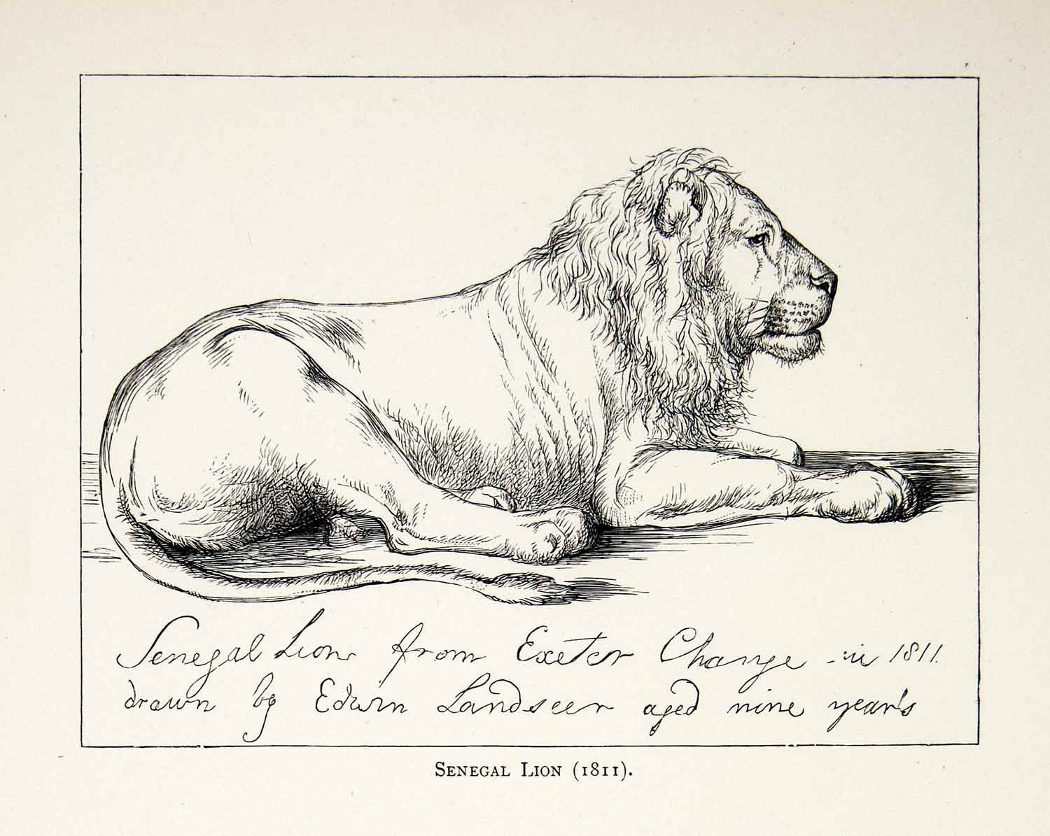 1877 Print Edwin Landseer Wildlife Art Animal Pencil Drawing Senegal Lion XAW4 - Period Paper