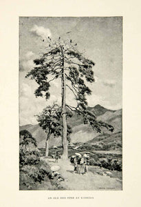 1896 Print Red Pine Yoshida Japanese Alfred Parsons Tree Birds Path XGED1