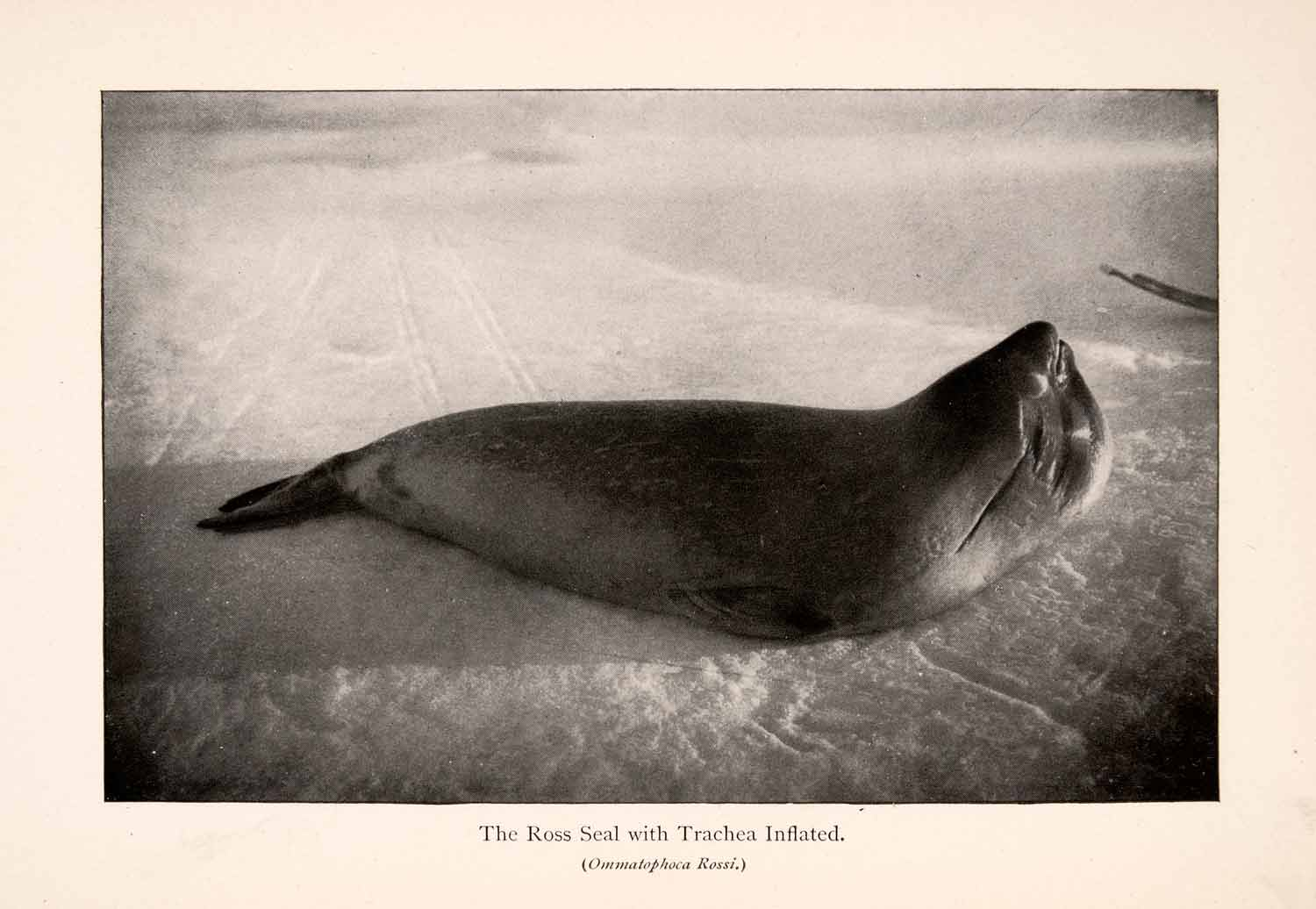 1900 Halftone Print Ross Seal Trachea Inflated Animal Wild Antarctic XGLA5