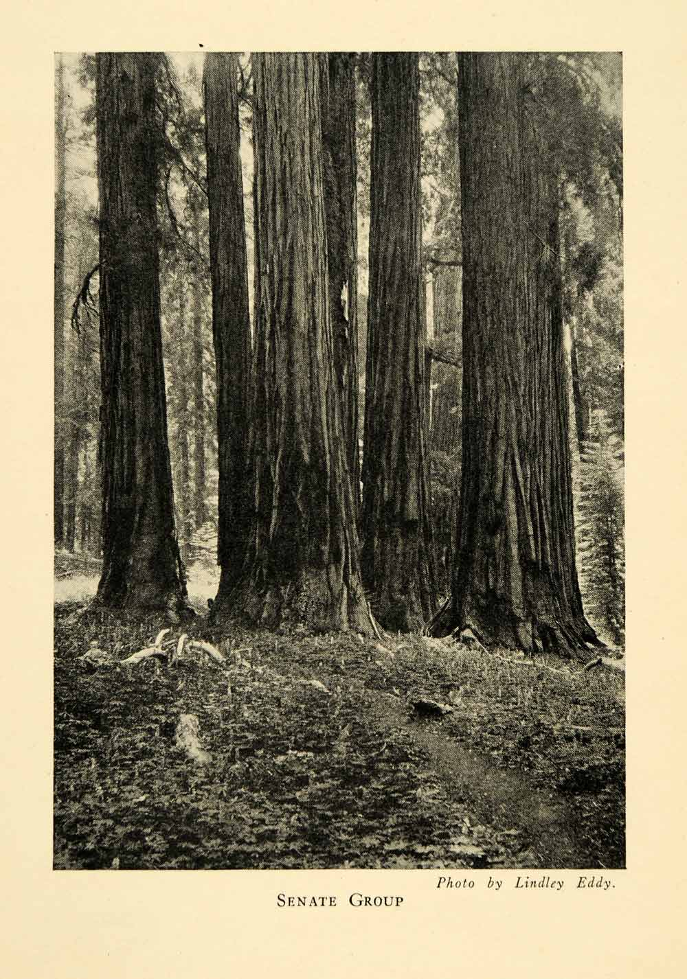 1928 Print Senate Group Sequoias Tree Forest National Park Woods Native XGM6