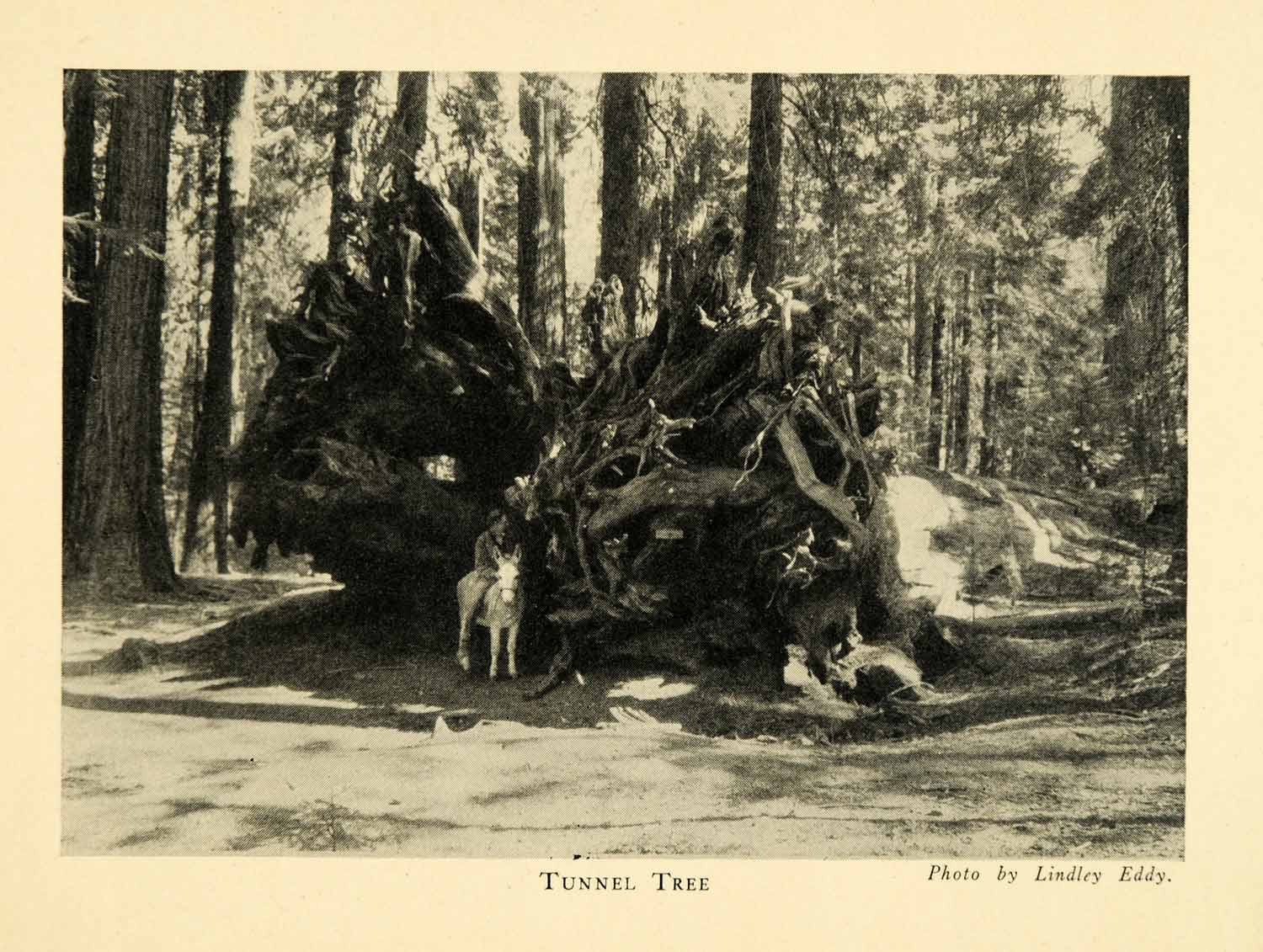 1928 Print Tunnel Tree Trunk Roots Sequoia National Park Donkey Forest XGM6