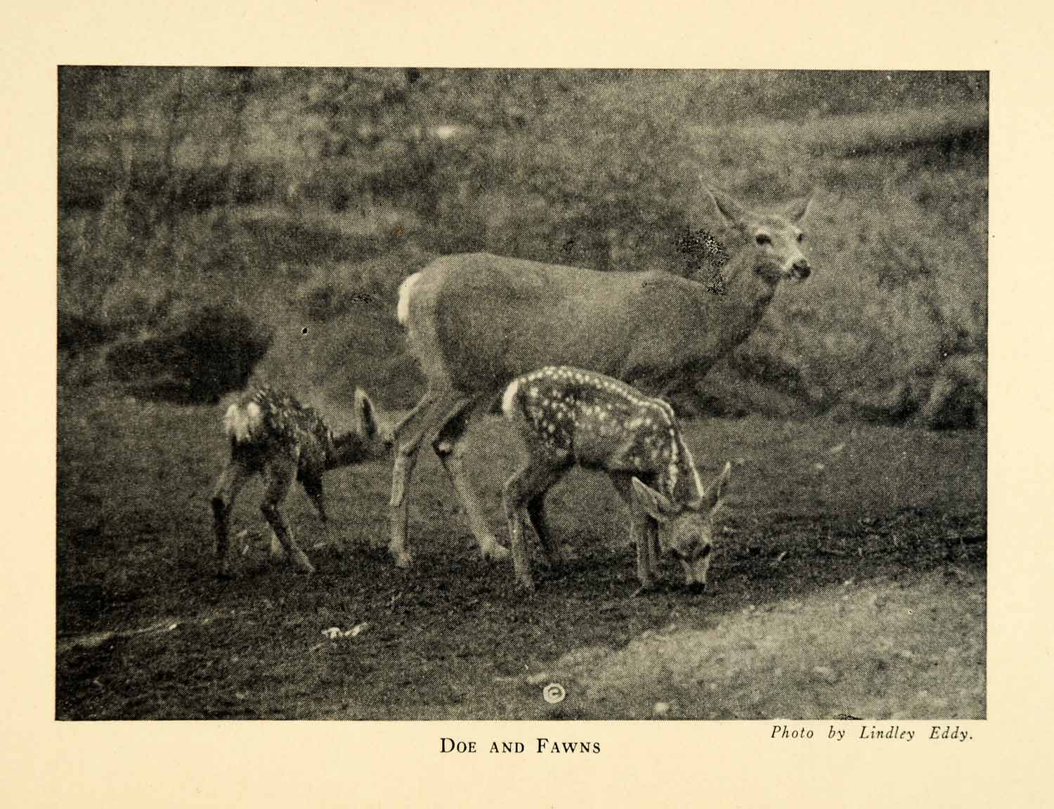 1928 Print Doe Fawns Animals Deer Sequoia National Park California XGM6