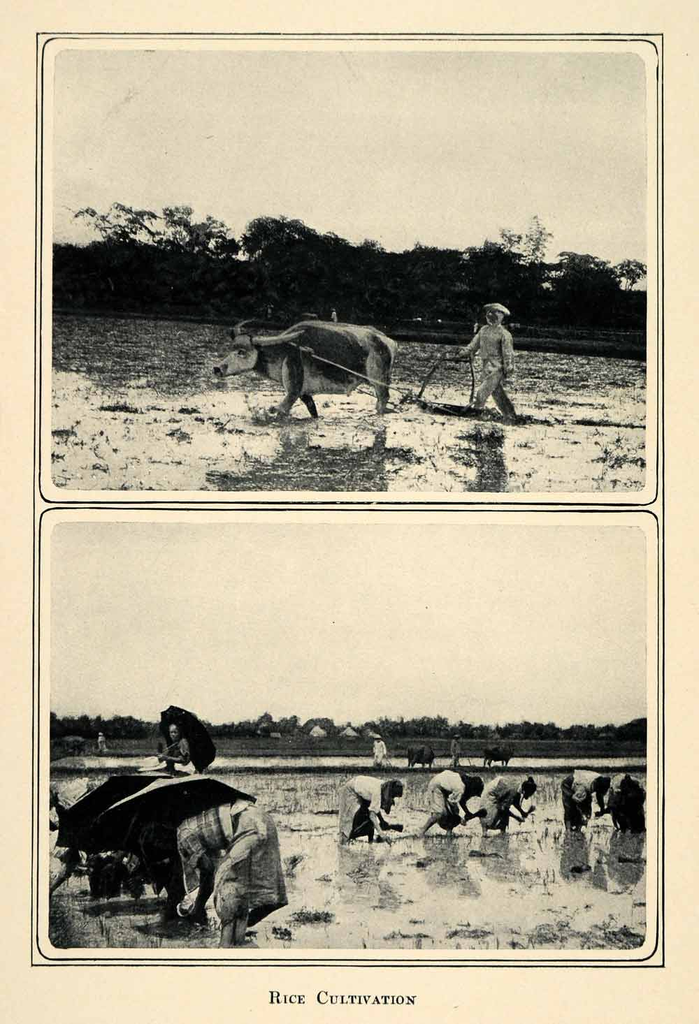 1905 Duotone Print Rice Cultivation Paddy Field Philippines Southeast Asia XGQ2