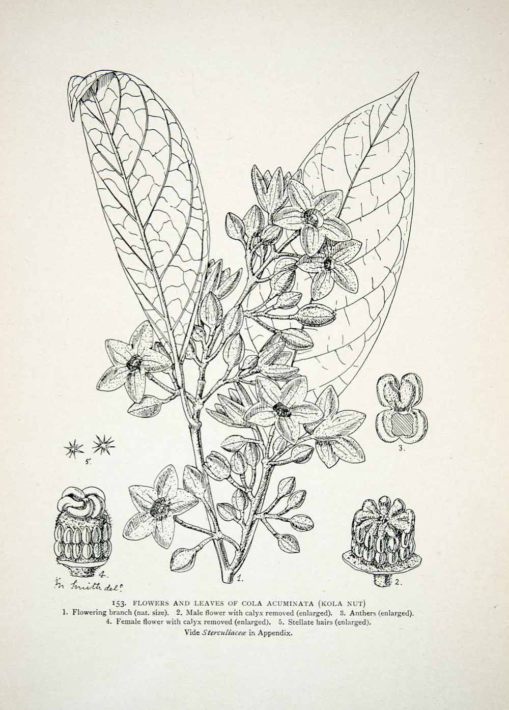 1906 Lithograph Matilda Smith Botanical Art Cola Acuminata Kola Nut Plant XGQB5