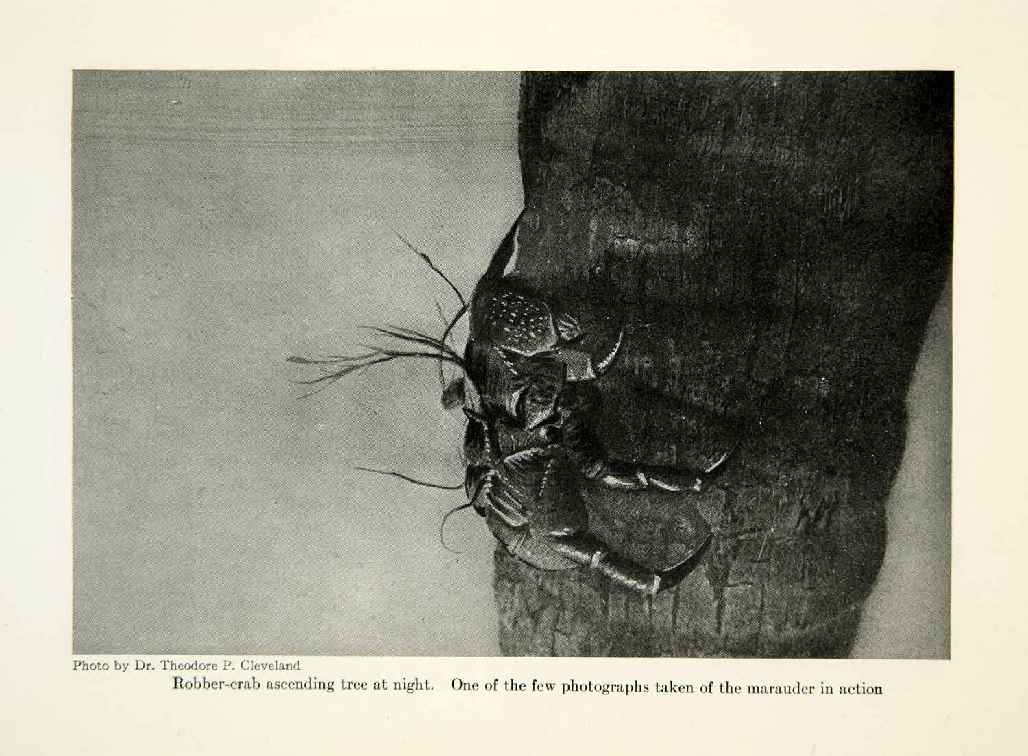 1923 Print Robber Crab Climb Tree Polynesia Animal Bug Crustacean Pacific XGSC8
