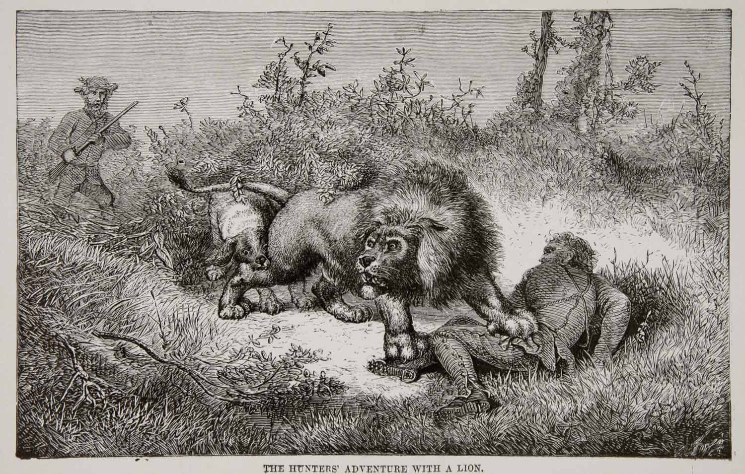 1884 Wood Engraving Africa Hunting Lion Livingstone Rifle Attack Maul XGTA6