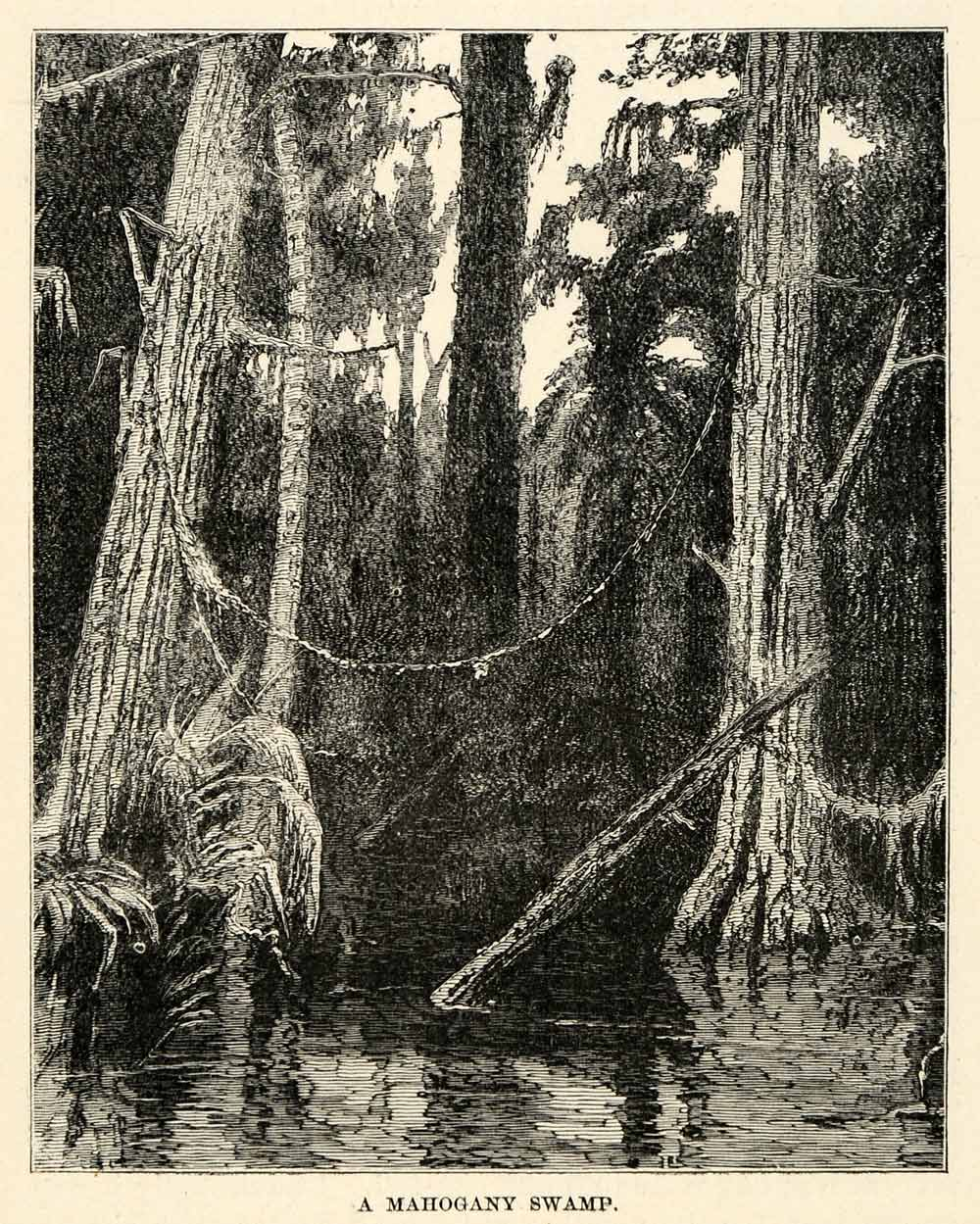 1888 Wood Engraving Mahogany Swamp Forest Nicaragua Central America River XGU6