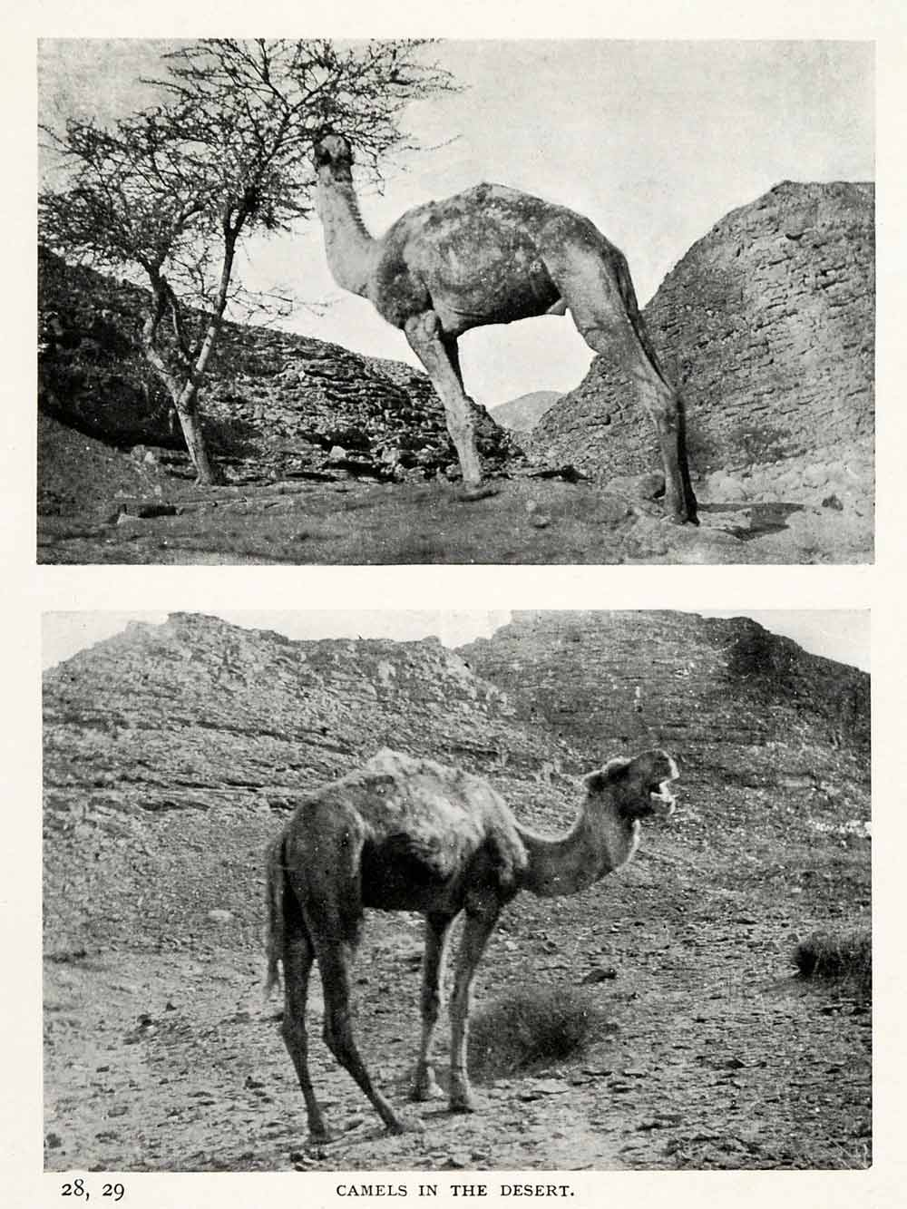 1906 Print Camels Desert Docile Thrive Water Food Distances Stamina XGW4