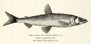 1882 Wood Engraving Art Fish Smelt Osmerus Eperlanus Marine Wildlife XGYC4