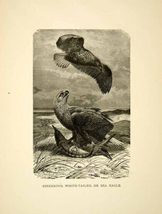 1885 Wood Engraving Cinereous White Tailed Sea Eagle Bird Animal Fish Soar YLW1
