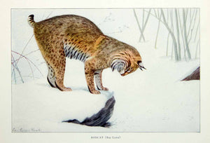 1916 Color Print Bobcat Bay Lynx Louis Agassiz Fuertes Animal Wildlife Cat YNG1