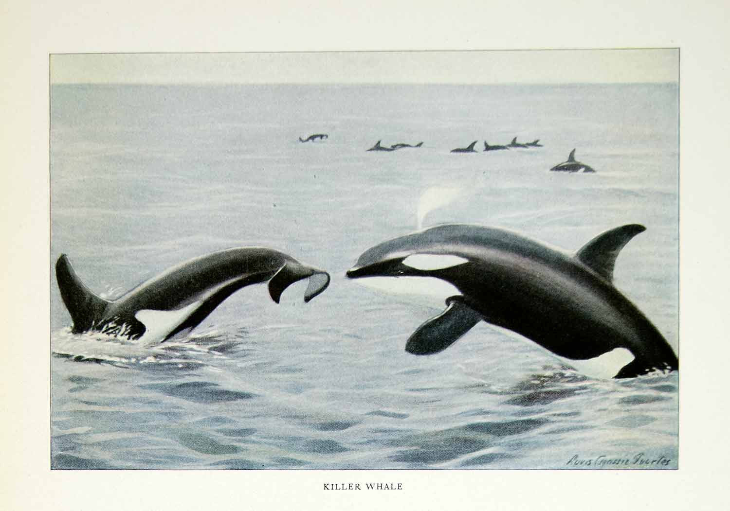 1916 Color Print Killer Whale Wildlife Fish Mammals Louis Agassiz Fuertes YNG1
