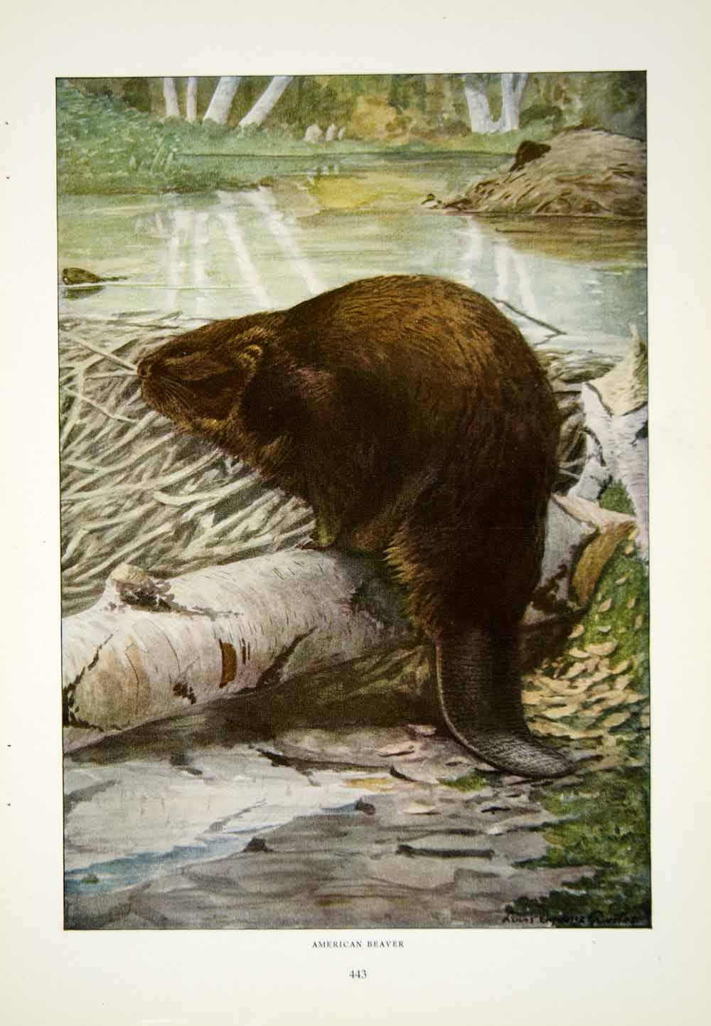 1916 Color Print American Beaver Wildlife Animal Louis Agassiz Fuertes Art YNG1