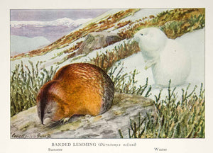 1918 Color Print Banded Lemming Winter Summer Louis Agassiz Fuertes Animal YNG2