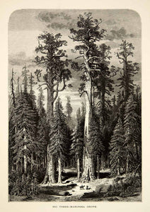 1894 Wood Engraving Sequoia Trees Mariposa Grove Yosemite National Park YPA4